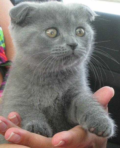 Что же надо купить для котенка скоттиш фолд?