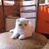 Белая скоттиш-фолд с голубыми глазами