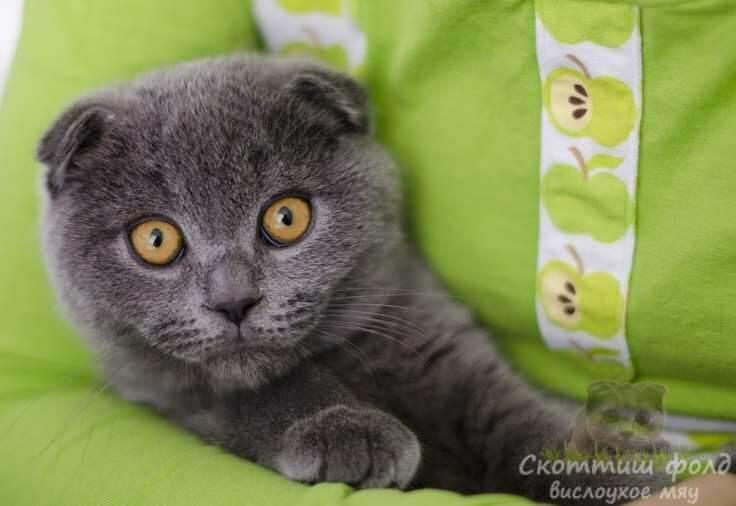 Что же может быть опасным для котенка скоттиш-фолд в доме?