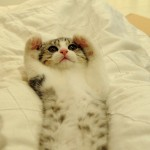 Воспитание котенка скоттиш-фолд 3