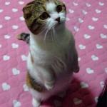 Воспитание котенка скоттиш-фолд 4