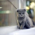 Воспитание котенка скоттиш-фолд 5