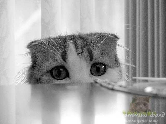 Воспитание котенка скоттиш-фолд