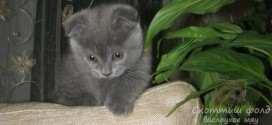 Знакомство котёнка скоттиш-фолд с новым домом
