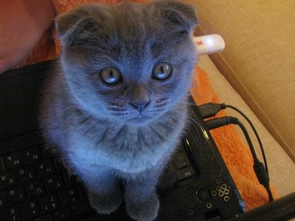 Маленький котенок скоттиш-фолд