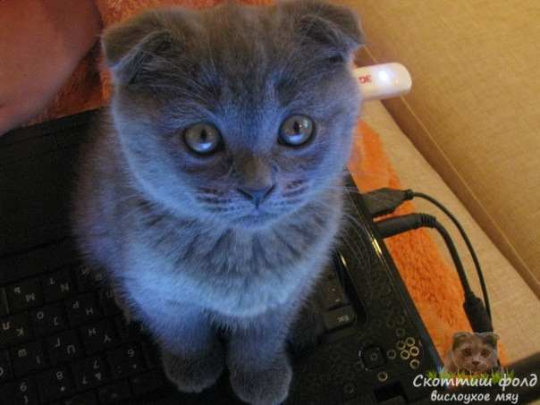 Двухмесячная вислоуха кошка Алиса