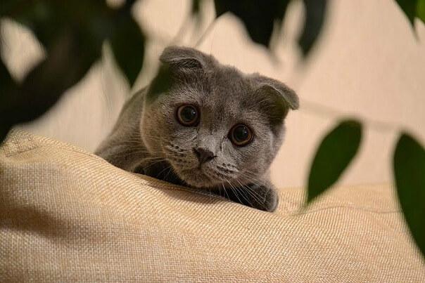Знакомтесь, кошка скоттиш-фолд Алиса