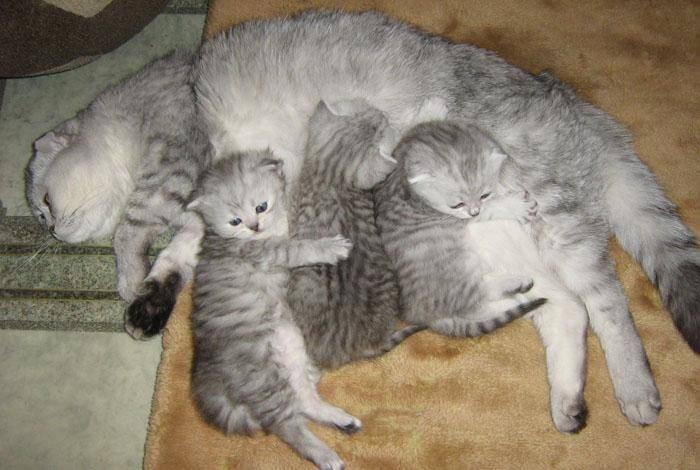 Котята скоттиш-фолд