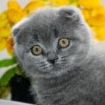 Что нельзя давать в любом возрасте вислоухой кошке скоттиш фолд!