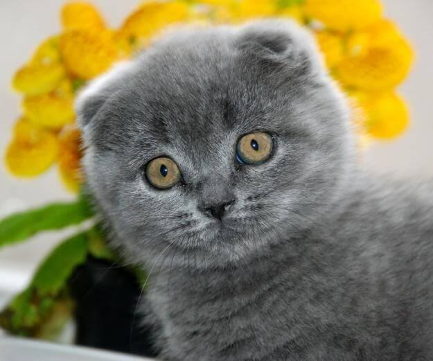 Что нельзя давать в любом возрасте кошке скоттиш-фолд!