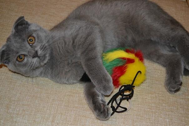 Игрушки для котенка скоттиш фолд