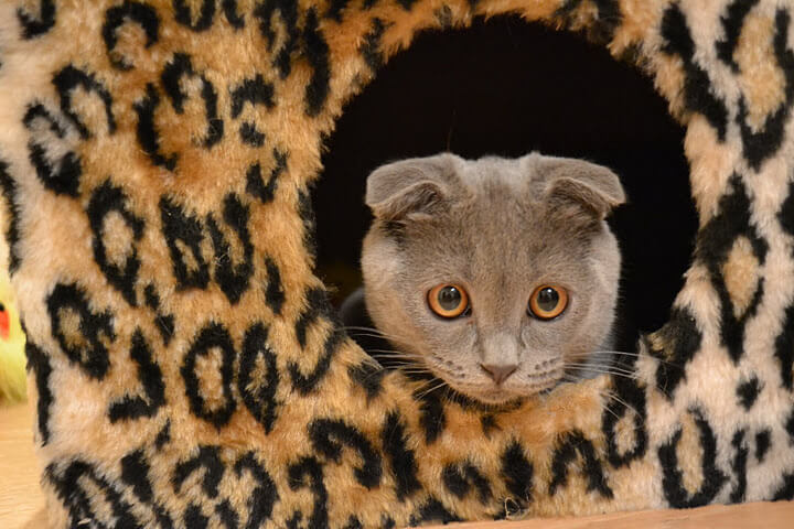 Уход за вислоухим котенком скоттиш-фолд