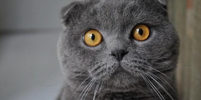 Болезни шотландской вислоухой кошки
