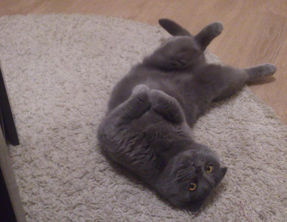 Шотландские вислоухие кошки обожаю заниматься своим собственным видом йоги