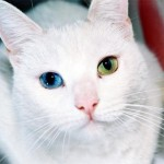 Кошки c разным цветом глаз