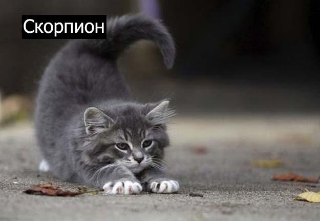 Знаки зодиак у кошек скорпион