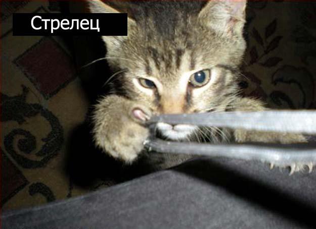 Знаки зодиак у кошек стрелец