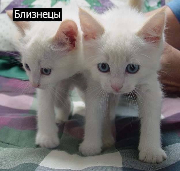 Знаки зодиак у кошек близнецы
