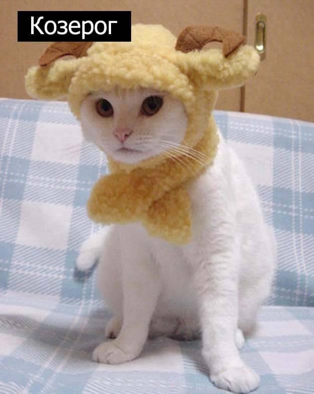 Знаки зодиак у кошек козерог