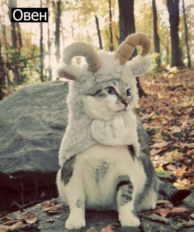 Знаки зодиак у кошек овен