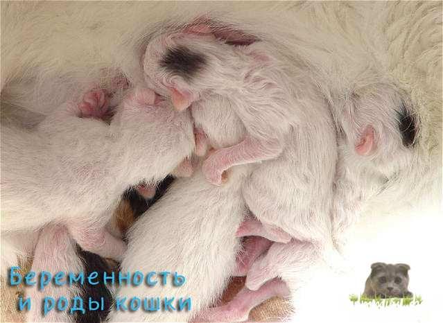 Беременность и роды кошки