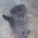 Котенок Скоттиш-фолд просится на обнимашки