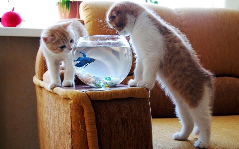 Питание вислоухого котёнка скоттиш фолд