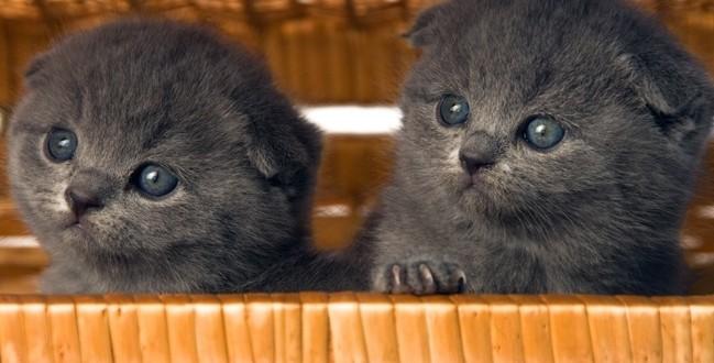 Как выбрать вислоухого котенка скоттиш-фолд