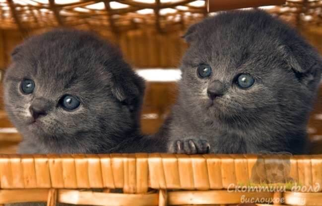 Выбираем котенка скоттиш-фолд