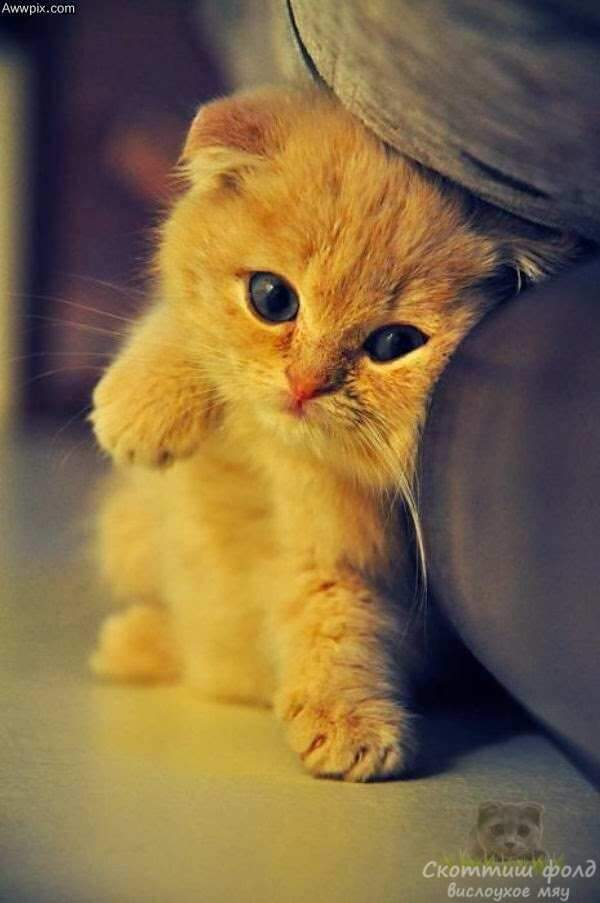 Котята скоттиш-фолд. Часть 2.