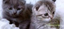 Приучаем котенка скоттиш-фолд к лотку