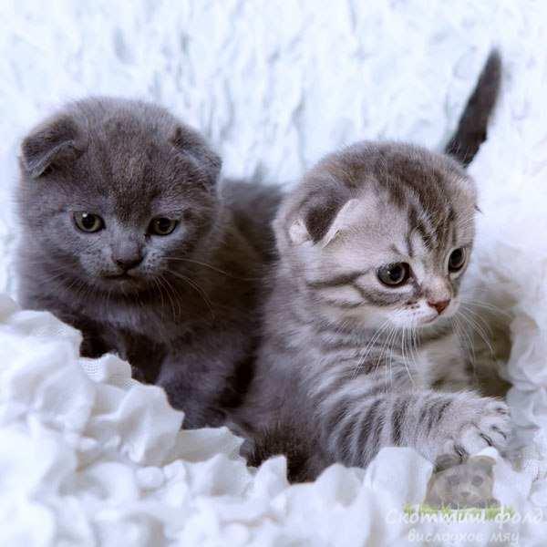 Приучаем котят скоттиш-фолд  к лотку