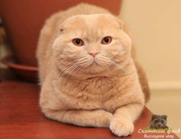 Скоттиш-фолды вислоухие кошки