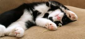 ОРВИ у кошек