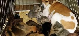 Спасённые котята нашли необыкновенную маму