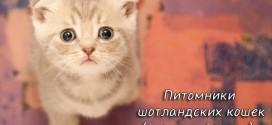 Питомники шотландских кошек (скоттиш-фолдов)