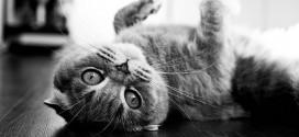 Мифы и заблуждения о кошках