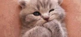 Вислоухие котята на фото