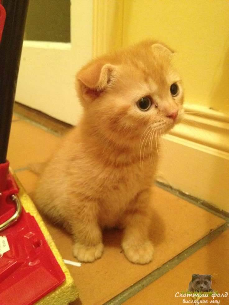 шотландские вислоухие котята фото 1