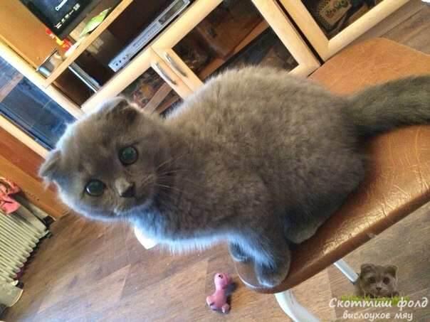 шотландские вислоухие котята фото 4
