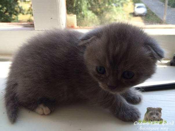 шотландские вислоухие котята фото 6
