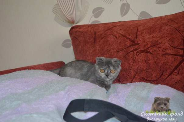 шотландские вислоухие котята фото 7