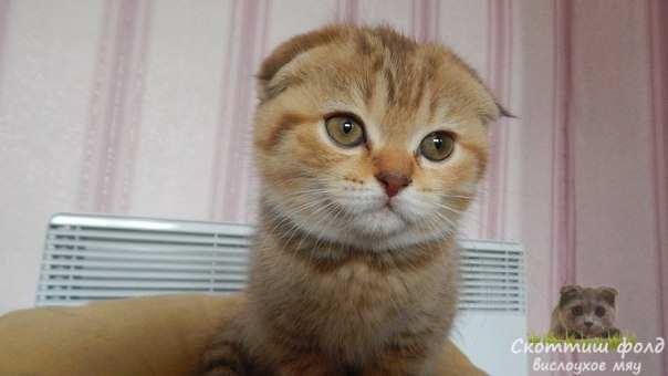 шотландские вислоухие котята фото 8