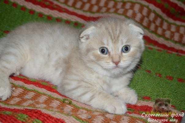 вислоухие шотландские котята фото 11