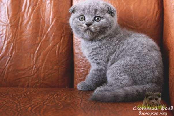 вислоухие шотландские котята фото 12