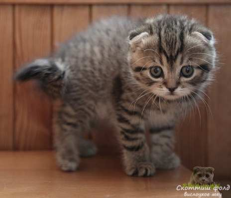 вислоухие шотландские котята фото 13