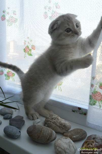 вислоухие шотландские котята фото 14