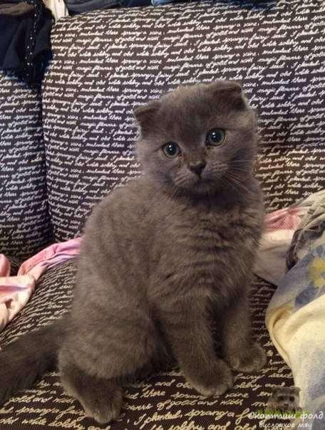 вислоухие шотландские котята фото 2