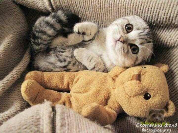 вислоухие шотландские котята фото 3