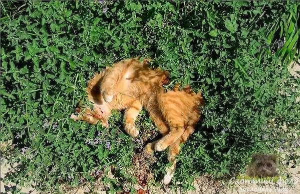 Кошачья мята и трава